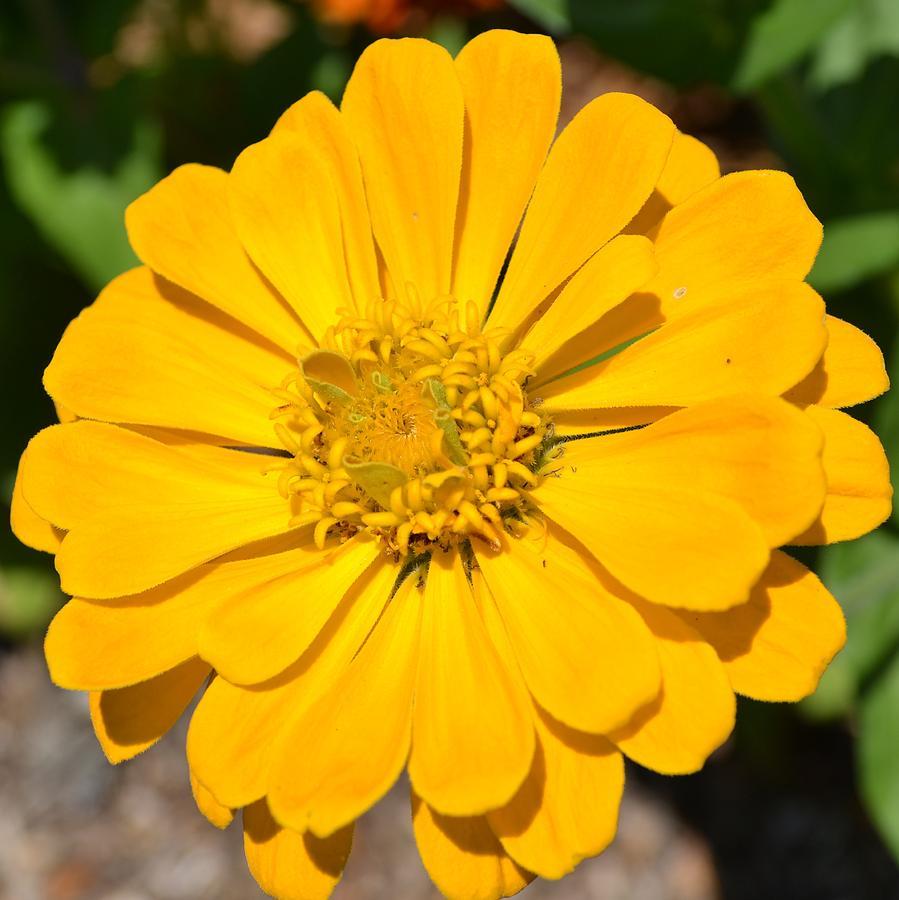 Yellow zinnia flower photograph by p s nature photograph yellow zinnia flower by p s mightylinksfo