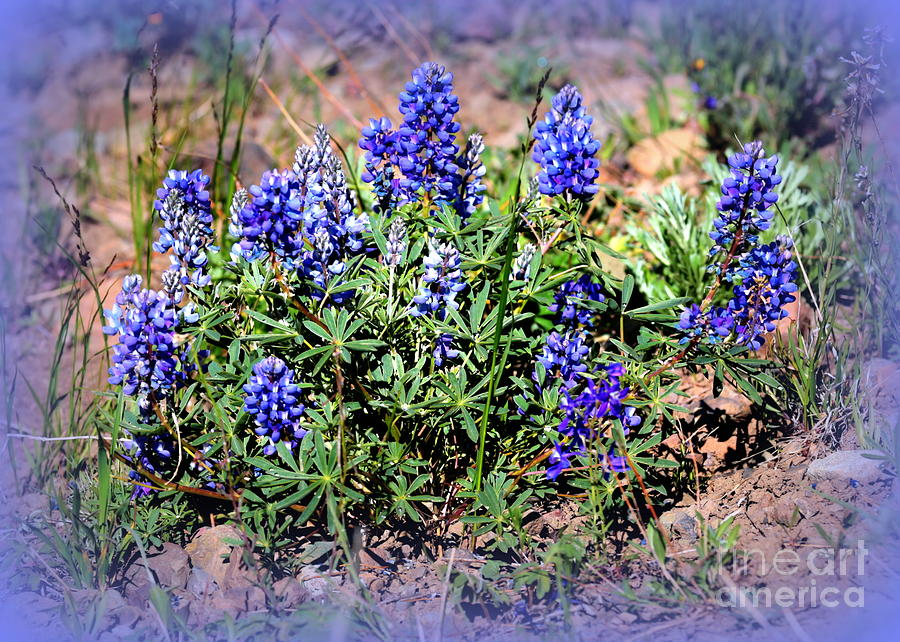 Blue Photograph - Yellowstone Lupine Blue by Carol Groenen