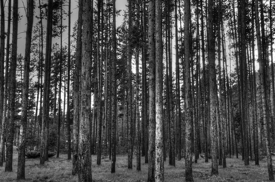 Campground Photograph - Yellowstone Trees Bw by Bruce Friedman