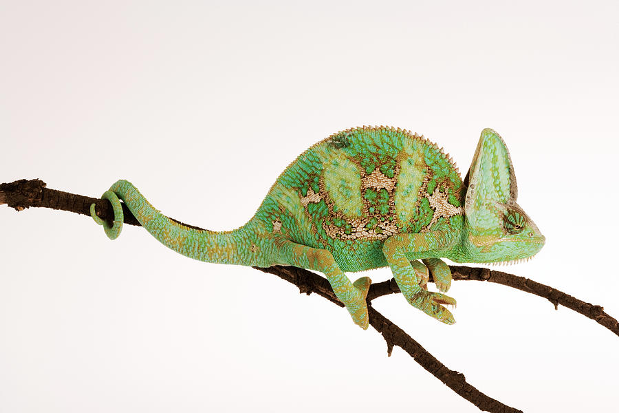yemen chameleon sitting on branch against white background side view photograph by martin harvey. Black Bedroom Furniture Sets. Home Design Ideas