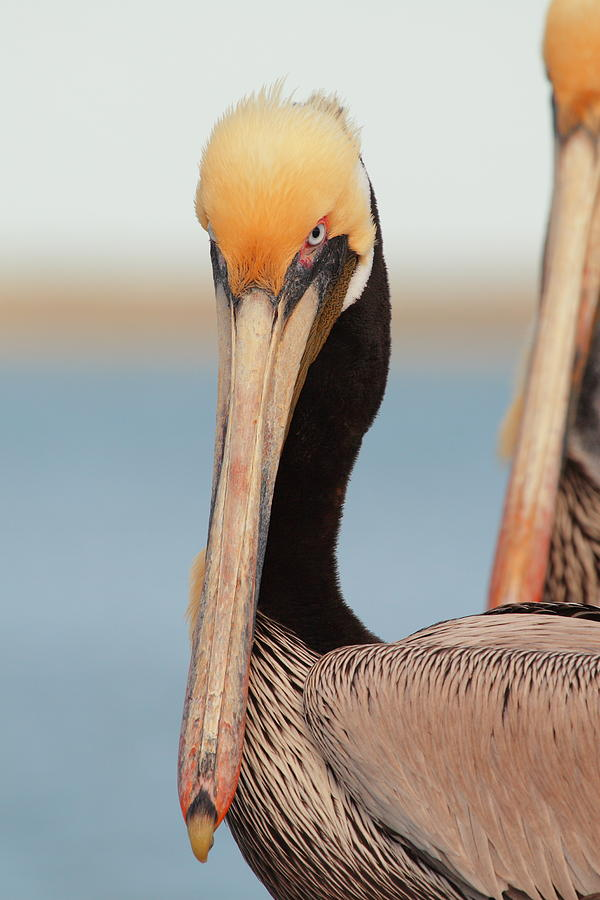 Brown Pelican Photograph - Yes I Am Pretty by Andrew McInnes