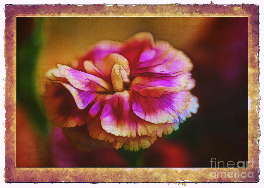 Carnation Photograph - Yesterday by Judi Bagwell