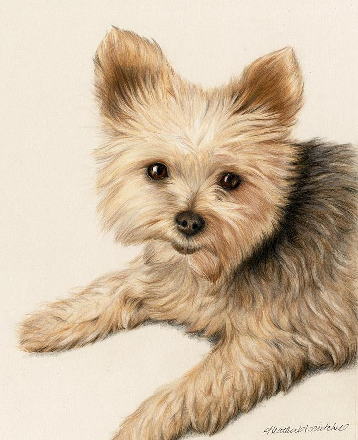 Yorkie Puppy Drawing By Heather Mitchell