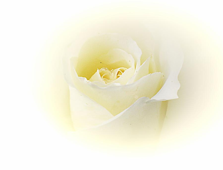 Yorkshire Rose Photograph by Susan Knott