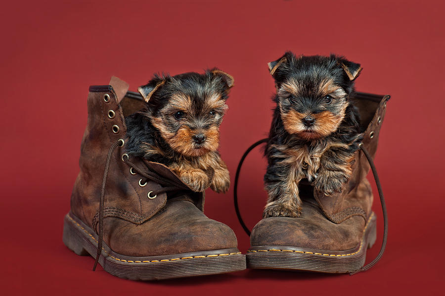 Animal Photograph - Yorkshire Terrier Puppies  by Marta Holka