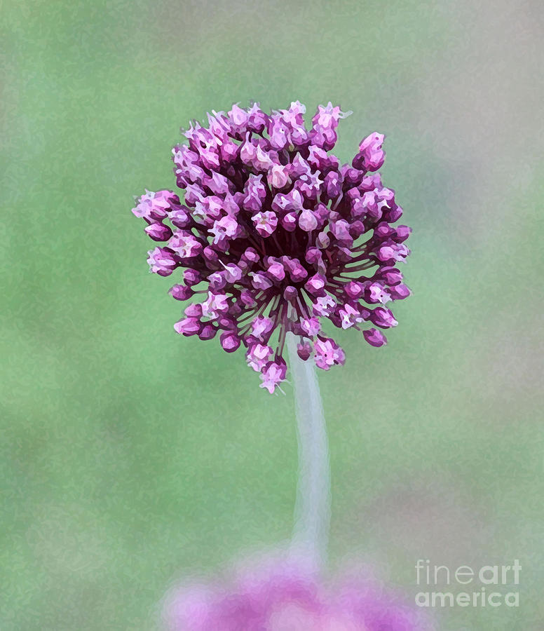 Purple Photograph - Yorktown Onion by Marilyn West