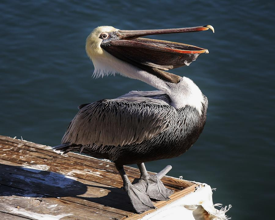 Pelican Photograph - You Are So Funny by Paulette Thomas