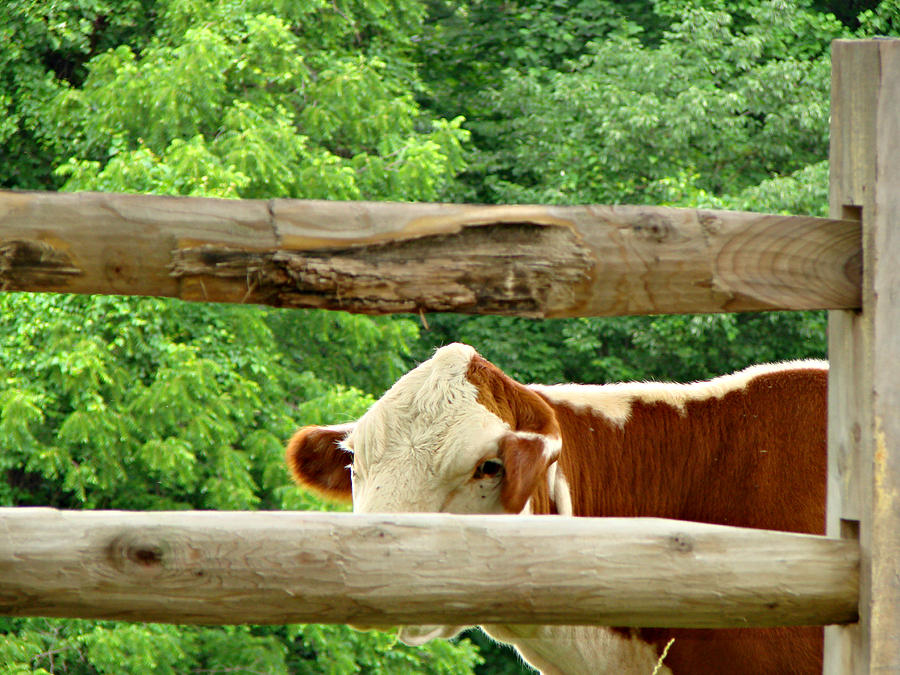 Cow Photograph - You Cant See Me by Brenda Conrad