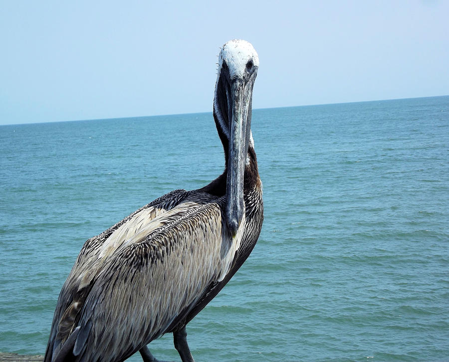 Pelican Photograph - You Lookin At Me by Jennifer Stockman