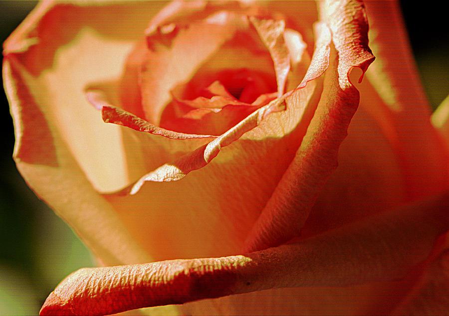 Rose Photograph - You Make Me Smile..... by Tanya Tanski