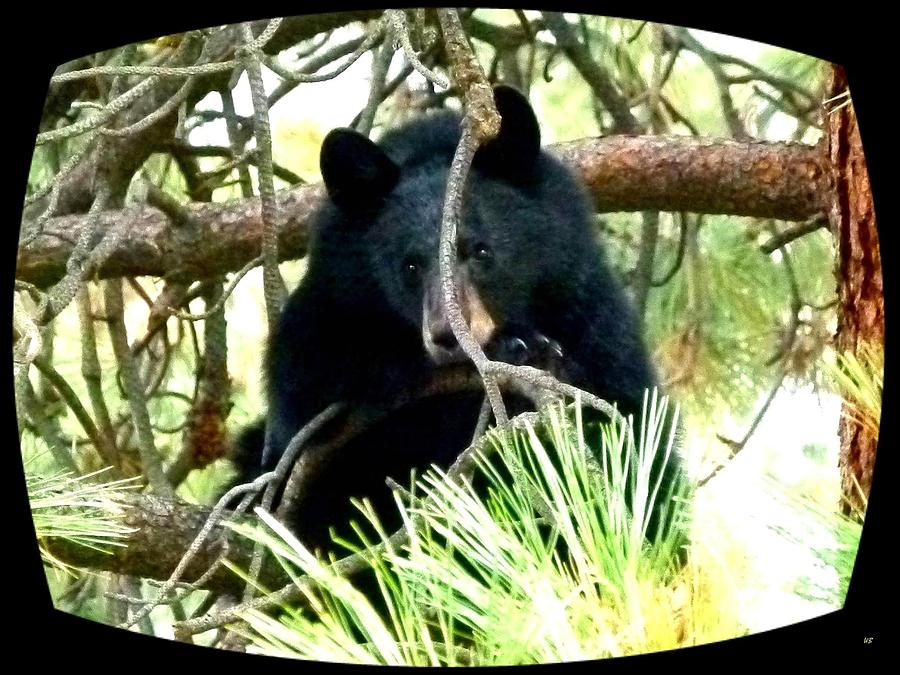 Black Bear Photograph - Young Black Bear by Will Borden
