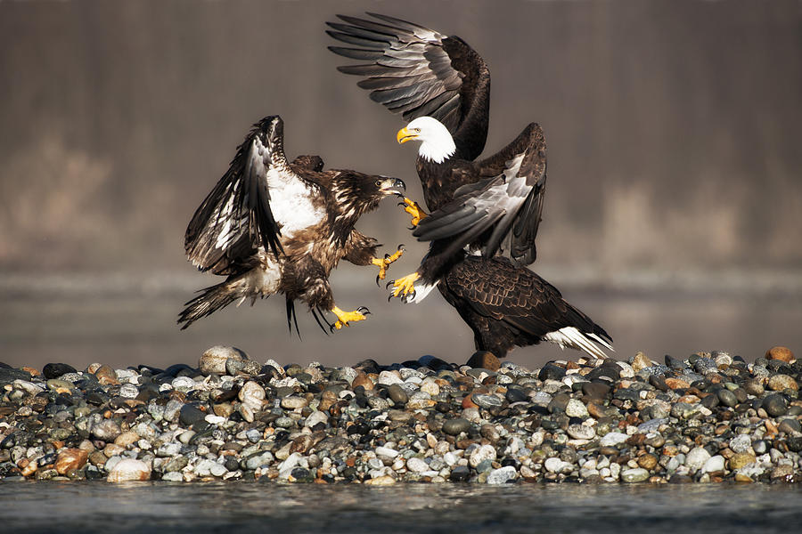 Bald Eagles Photograph - Young Challenge by Yoshiki Nakamura