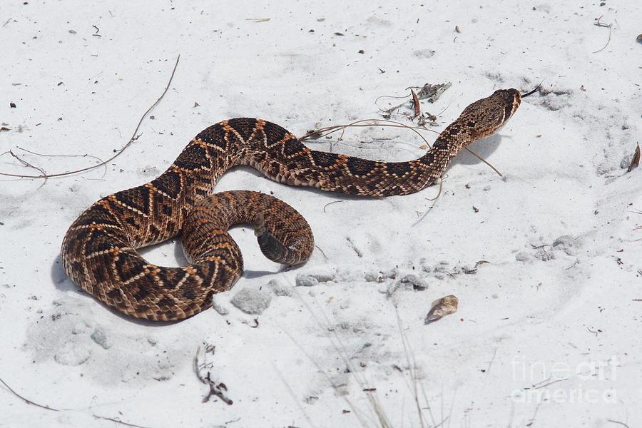 Snake Photograph - Young Diamondback by Lynda Dawson-Youngclaus