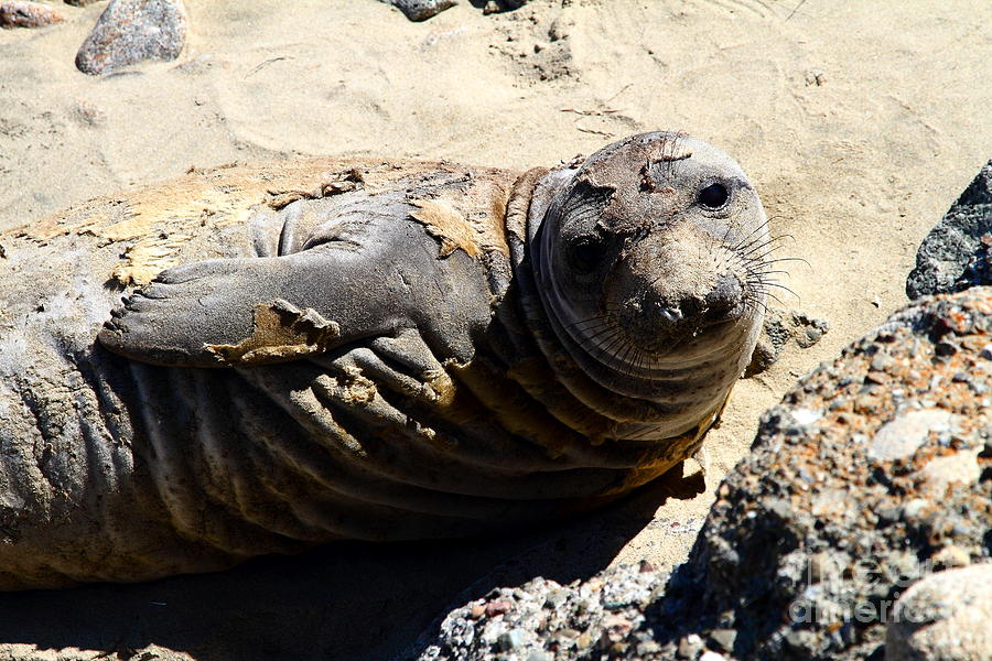 Pacific Coast Photograph - Young Elephant Seal Molting . 7d16091 by Wingsdomain Art and Photography