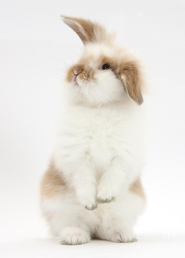 Young Fluffy Rabbit Standing Up Photograph By Mark Taylor