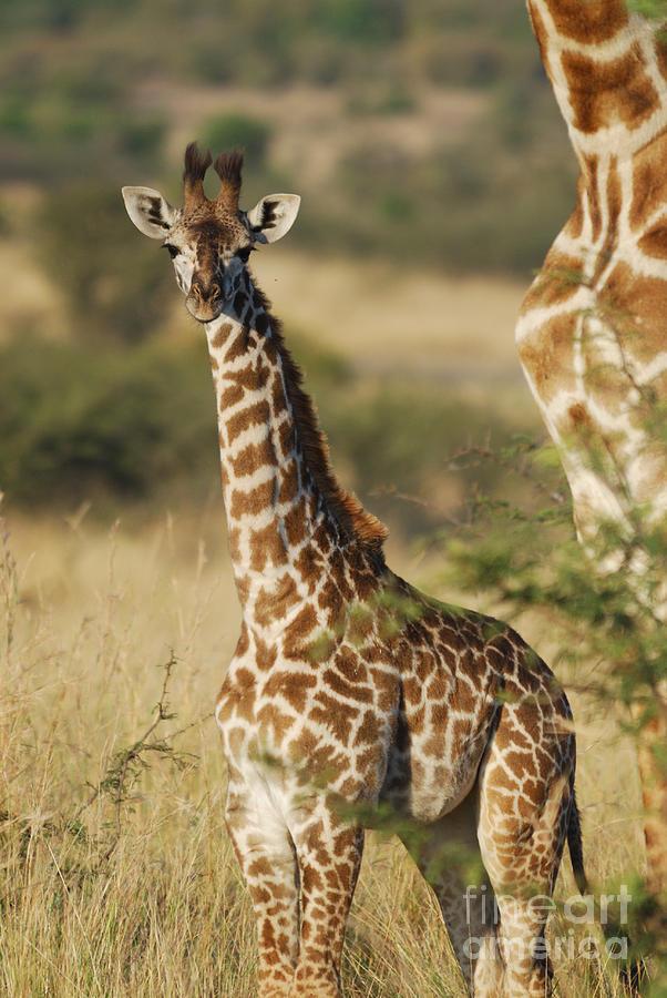 Giraffe Photograph - Young Giraffe In The Mara by Alan Clifford