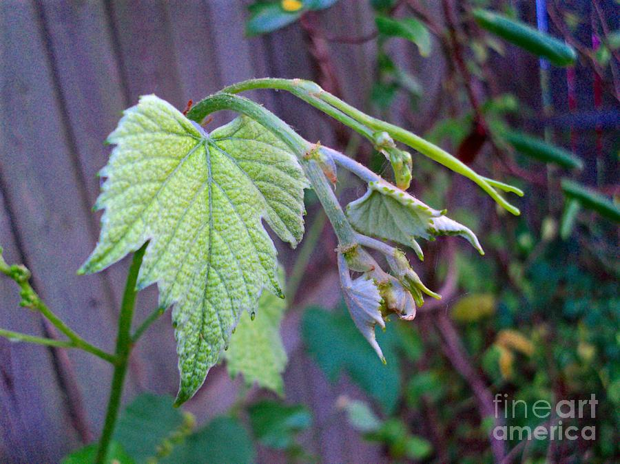 Grapes Photograph - Young Grape Leaves by Padre Art