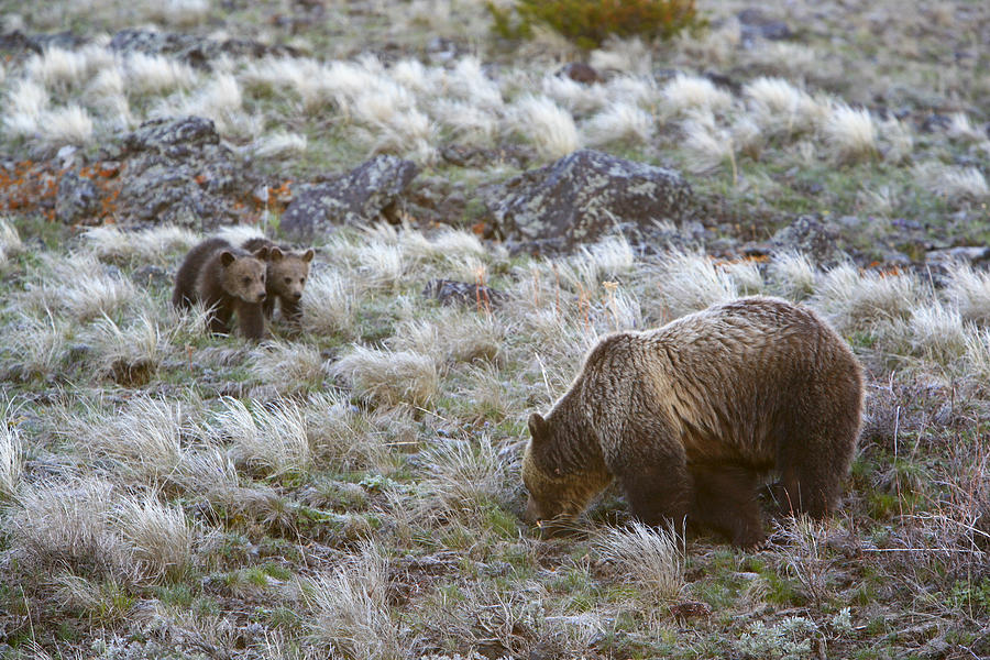 Color Image Photograph - Young Grizzly Cubs Play As Their Mother by Drew Rush