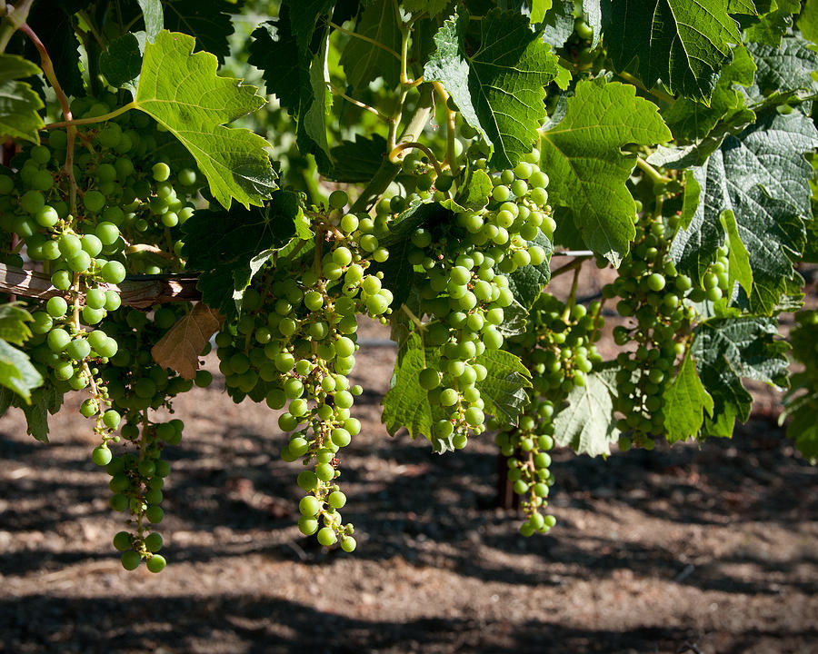Vineyard Photograph - Young On The Vine by Kent Sorensen