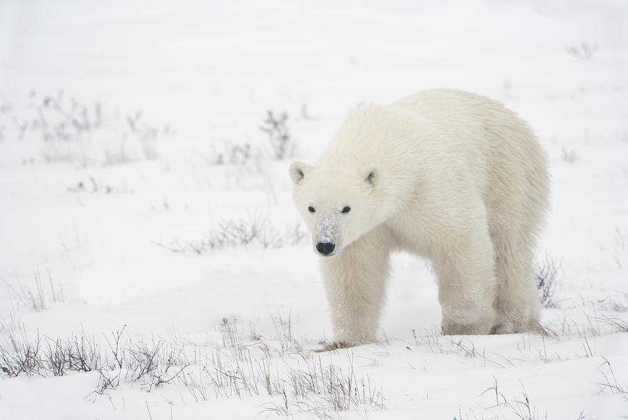 Animals In The Wild Photograph - Young Polar Bear Ursus Maritimus Walks by Richard Wear