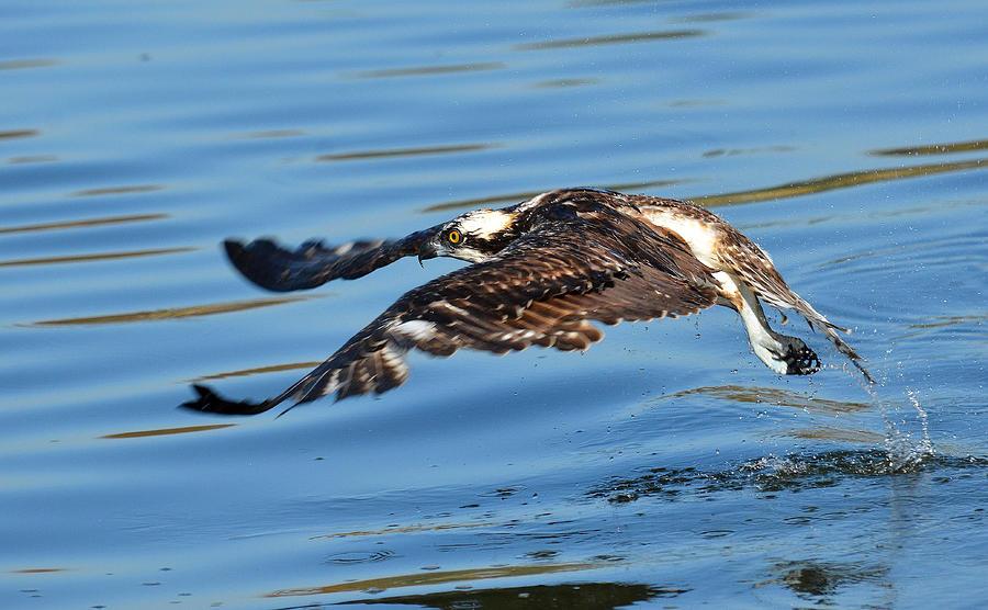 Osprey Photograph - Young Raptor by Fraida Gutovich