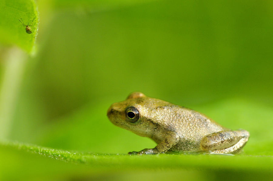 Animal Photograph - Young Spring Peeper Pseudacris Crucifer by Steeve Marcoux