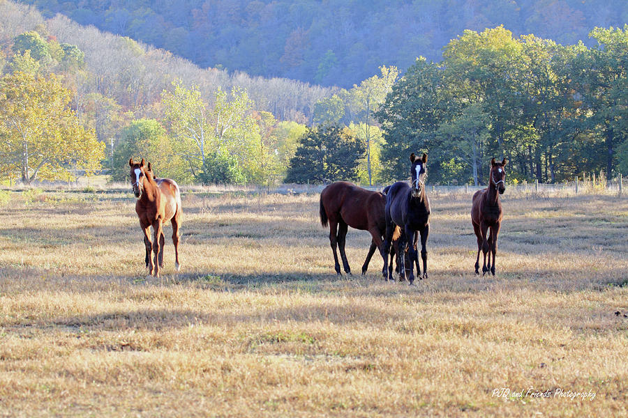 Thorougbred Race Horse Photograph - youngsters In The Paddock by PJQandFriends Photography
