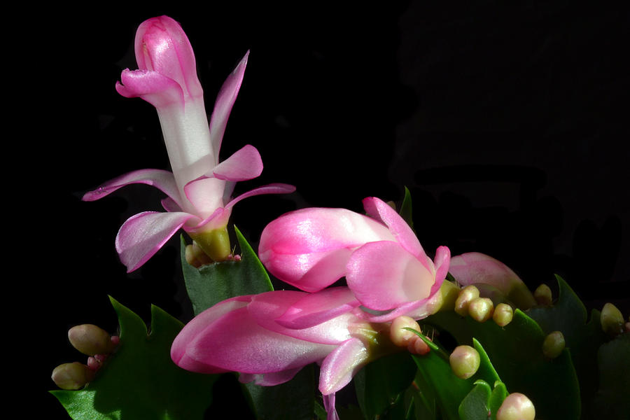 Christmas Cactus Photograph - Yule Time. by Terence Davis