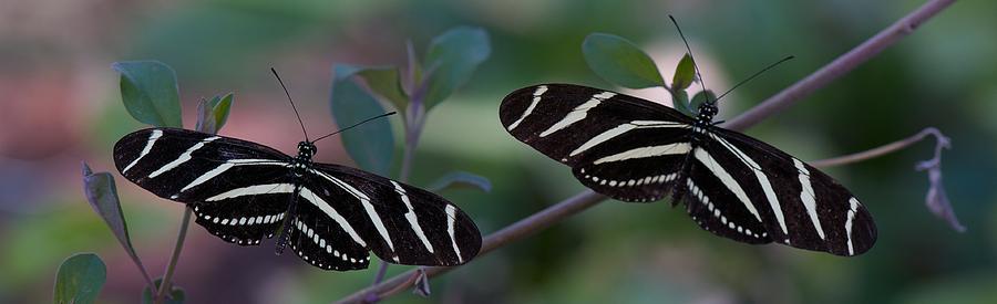 Animals Photograph - Zebra Butterflies by C Thomas Willard