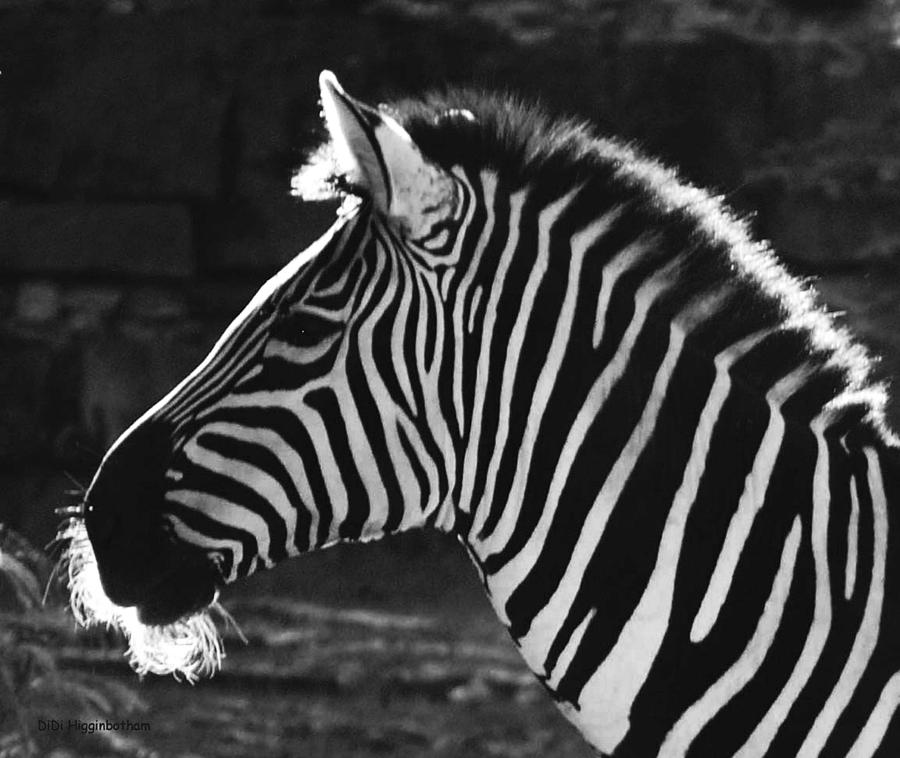 Zebra Photograph - Zebra in black and white by DiDi Higginbotham
