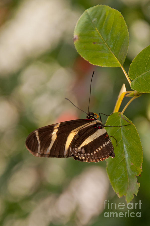 Zebra Longwing Photograph - Zebra Longwing Butterfly by Dejan Jovanovic