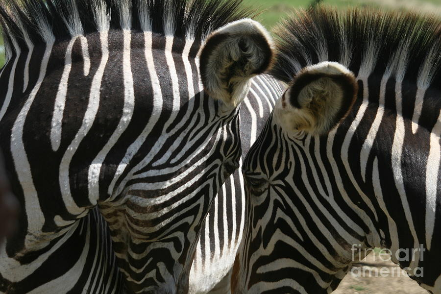 Zebra Photograph - Zebra Lovers by Carol Wright