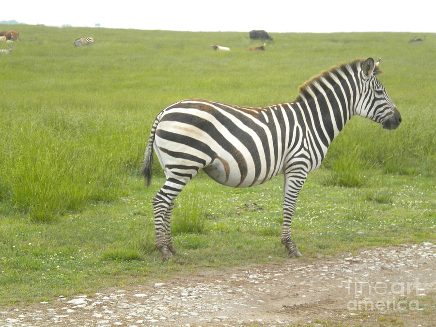 Zebra Photograph - Zebra Print by Tessa Priddy