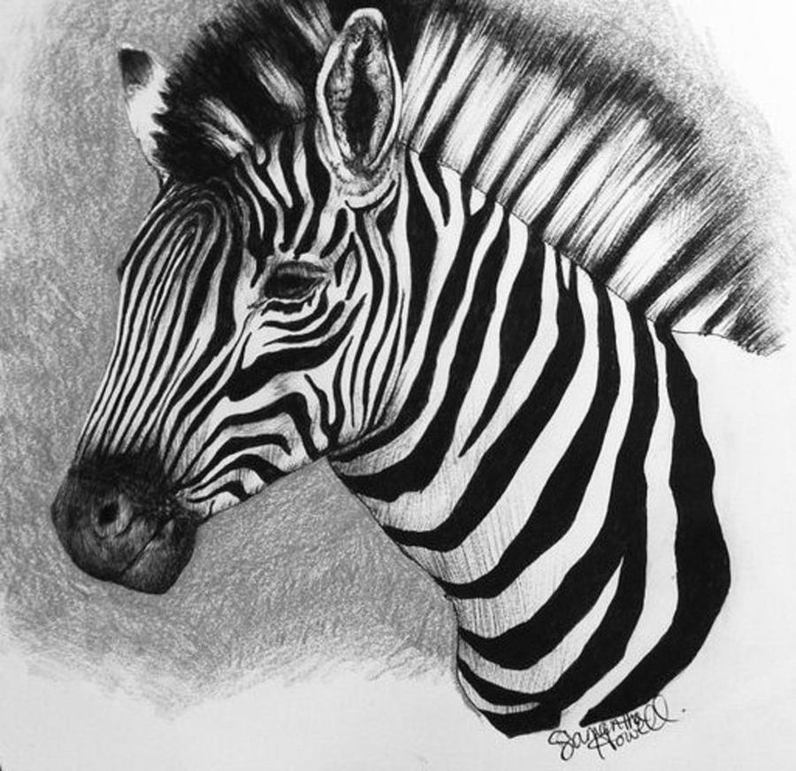 Zebra Drawing by Samantha Howell