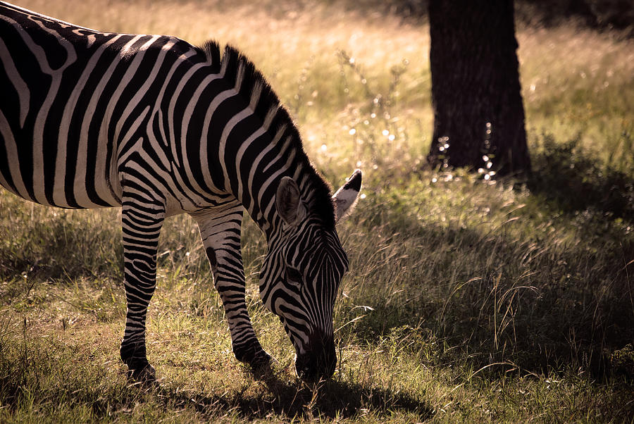 Africa Photograph - Zebra Take One by Kelly Rader