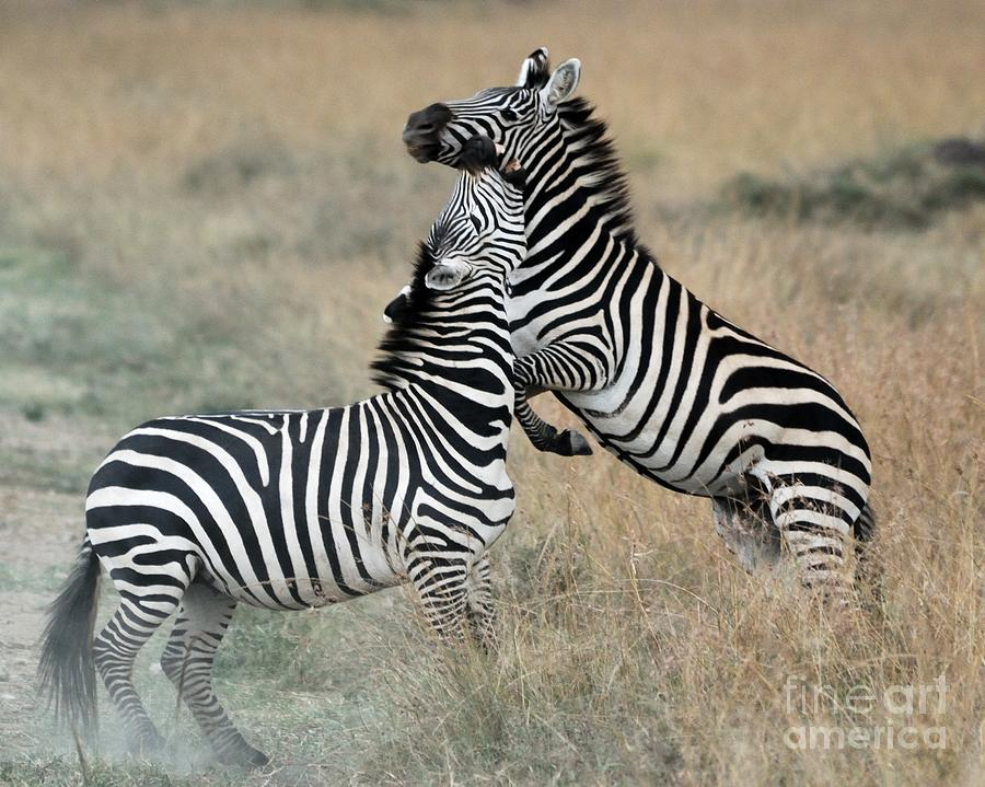 Masai Mara National Reserve Photograph - Zebras Fighting by Alan Clifford