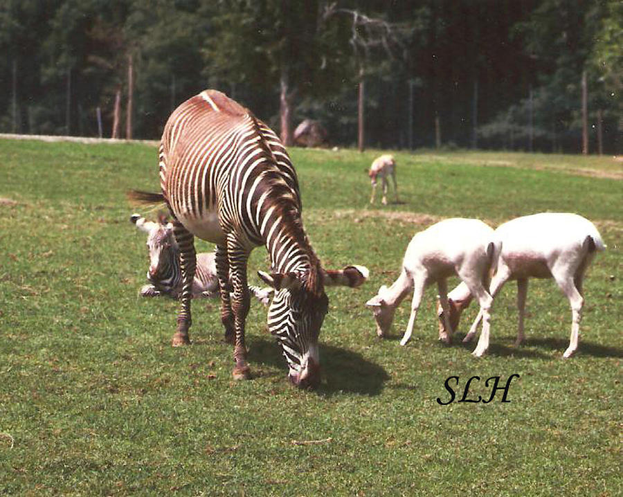 Grass Relief - Zebras Grazing by Lee Hartsell