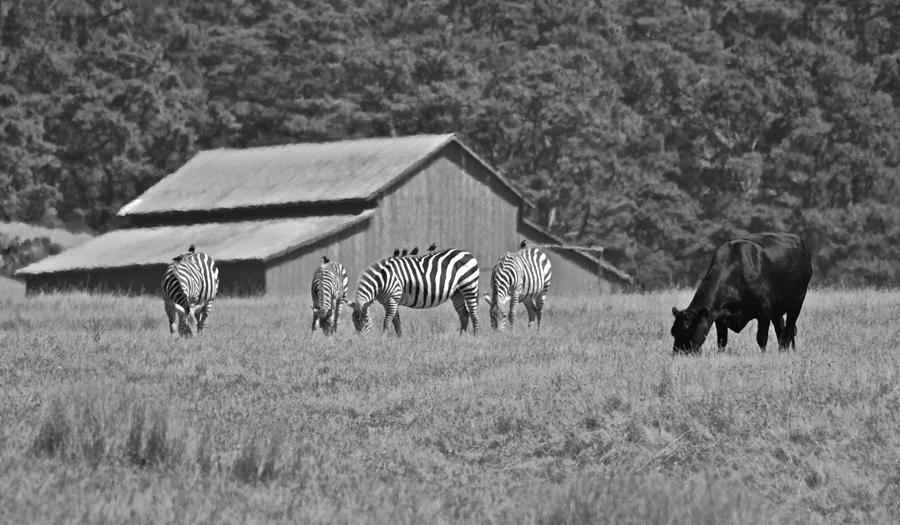 San Simeon Photograph - Zebras In San Simeon by Eric Tressler