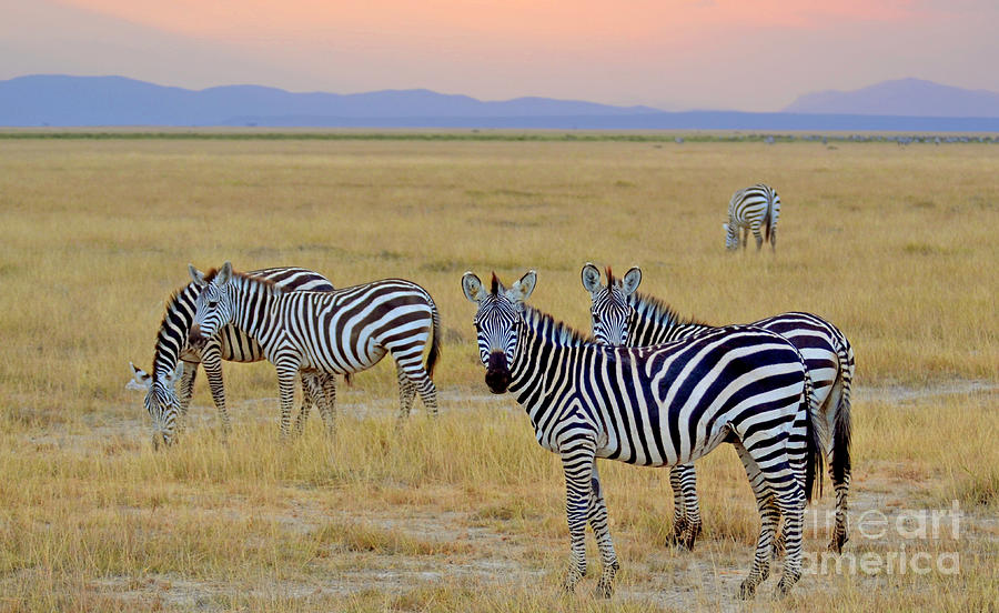 Zebras Digital Art - Zebras In The Morning by Pravine Chester