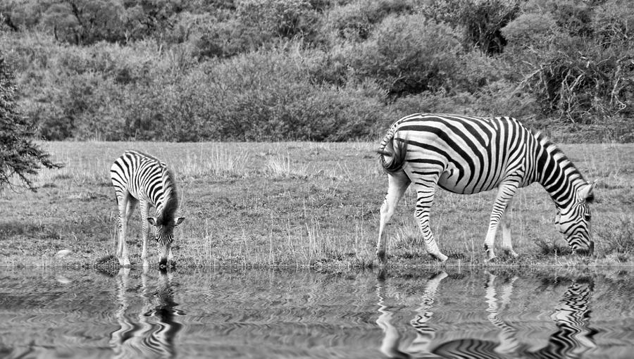 Zebra Photograph - Zebras by Lynn Bolt