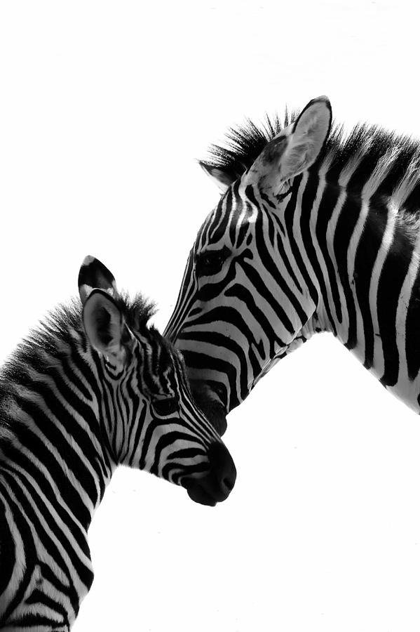 Zebras Mom And Baby Photograph By C Thomas Willard