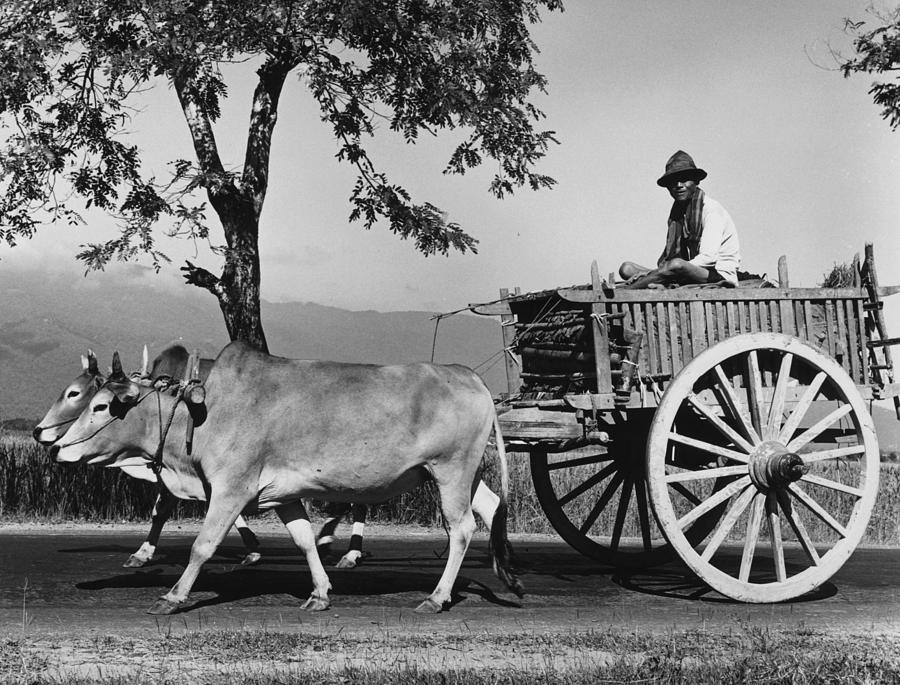 Adult Photograph - Zebu Cart by Richard Harrington