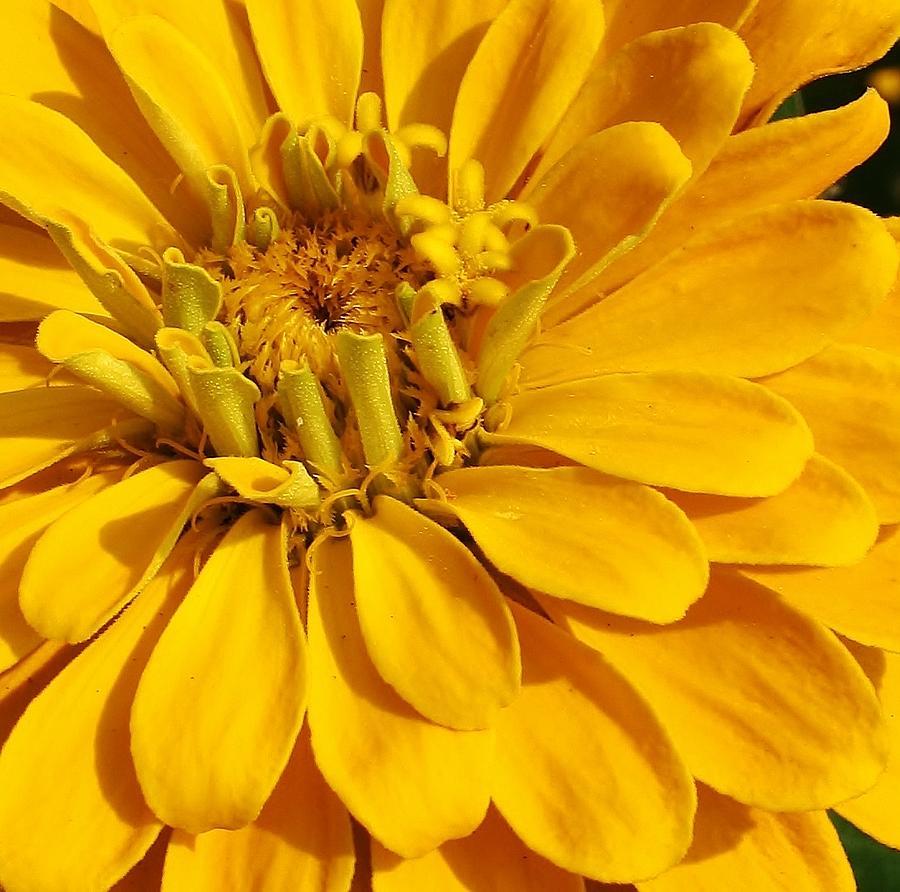 Flora Photograph - Zinnia Close Up by Bruce Bley
