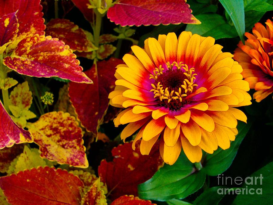 Zinnia Photograph - Zinnia by Deborah Willard