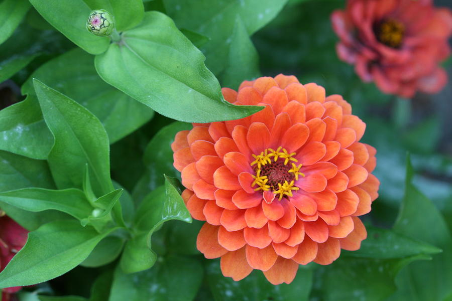 Zinnias Photograph - Zinnia Flower Stages Of Life by Bonnie Boden