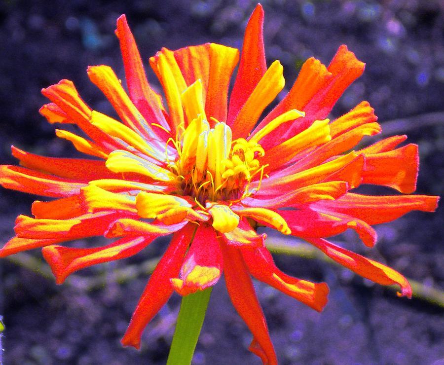 Orange Photograph - Zinnia by Renate Nadi Wesley