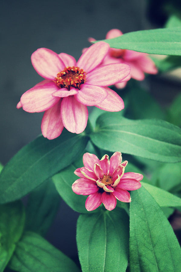 Zinnias Photograph - Zinnias by Cathie Tyler