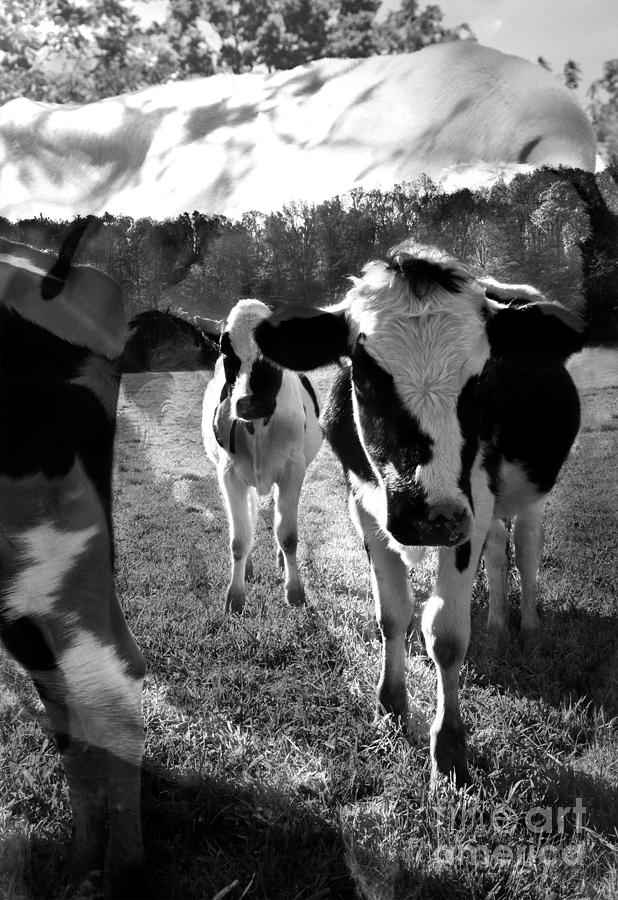 Cows Photograph - Zoey And Matilda In The Blissful Sun by Danielle Summa