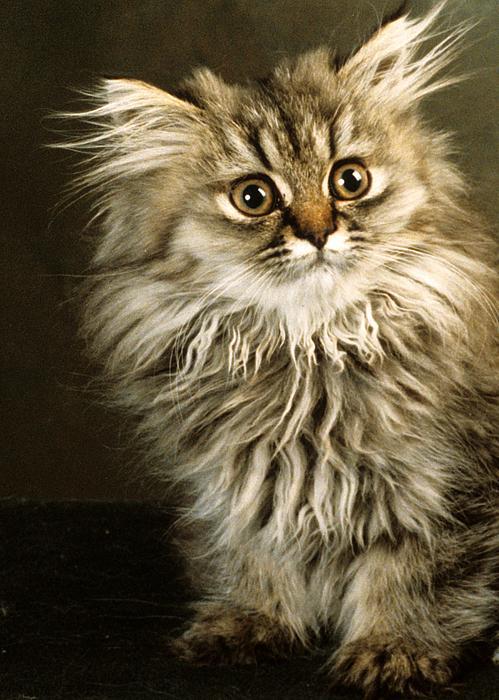 Larry Allan -  Startled Persian Kitten