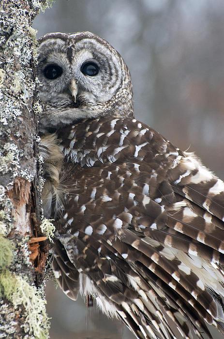 Cheryl Cencich - Barred Owl